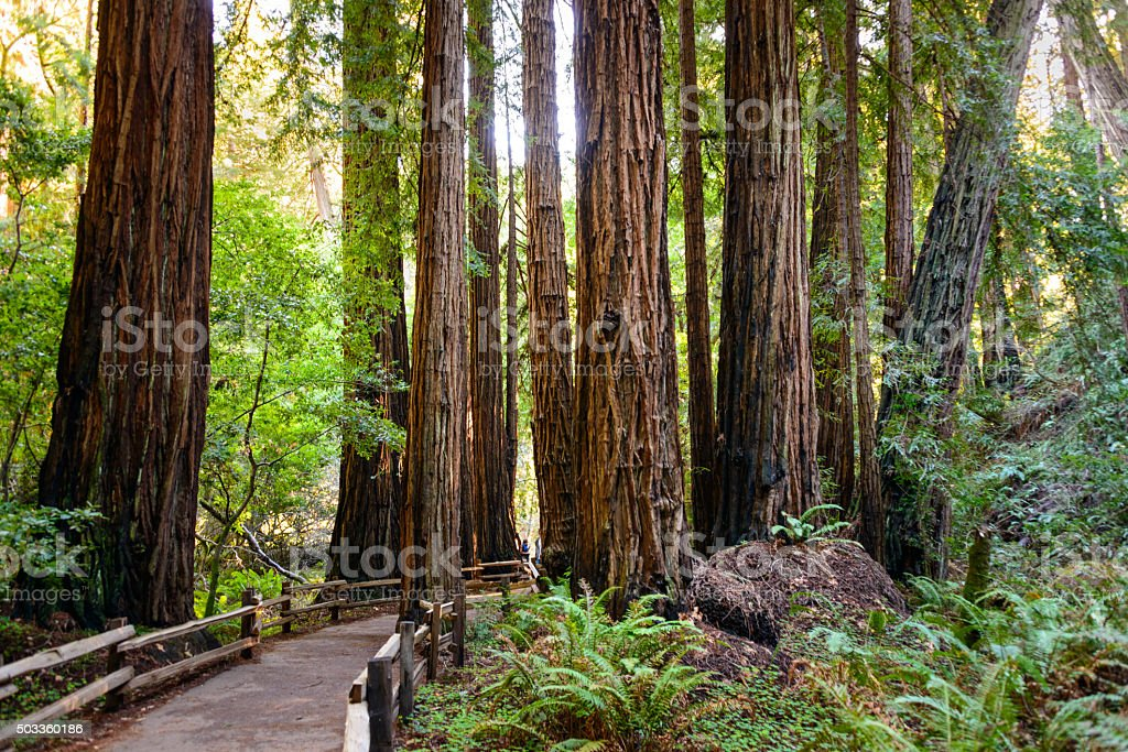Muir Woods National Monument stock photo