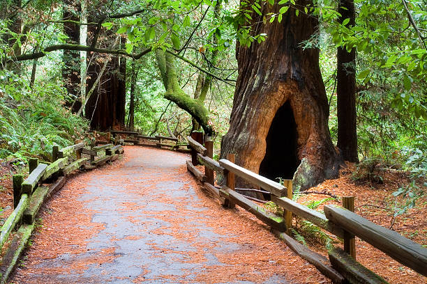 Muir Woods Path  national forest stock pictures, royalty-free photos & images