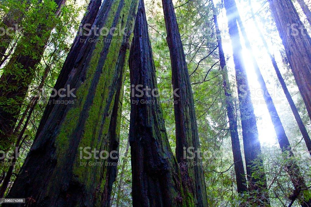 Muir Woods stock photo
