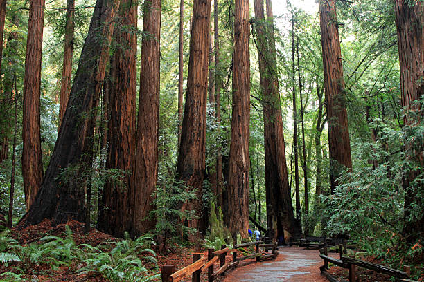Muir woods  moor stock pictures, royalty-free photos & images