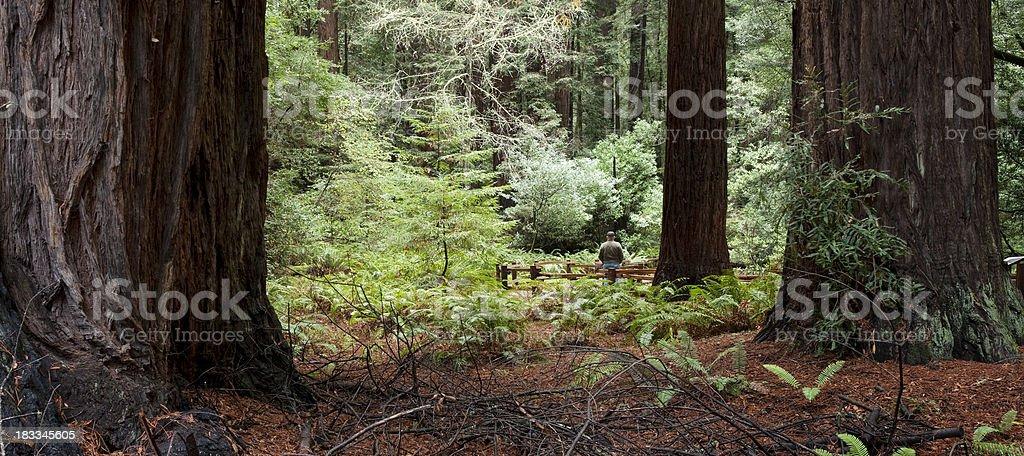 Muir Woods Redwood California royalty-free stock photo