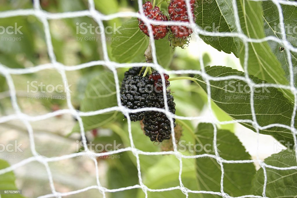 Mulberries Behind Protective Netting stock photo