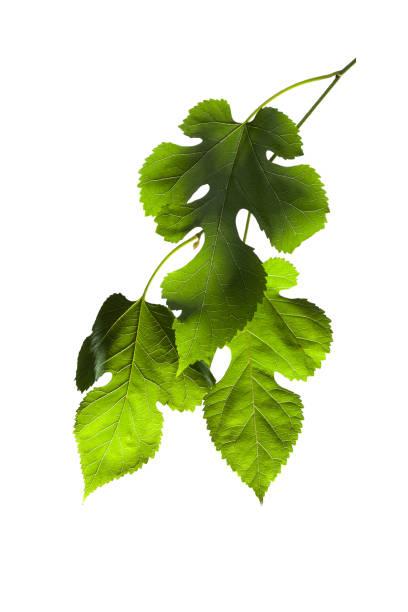mulberry bush - amoreiras imagens e fotografias de stock