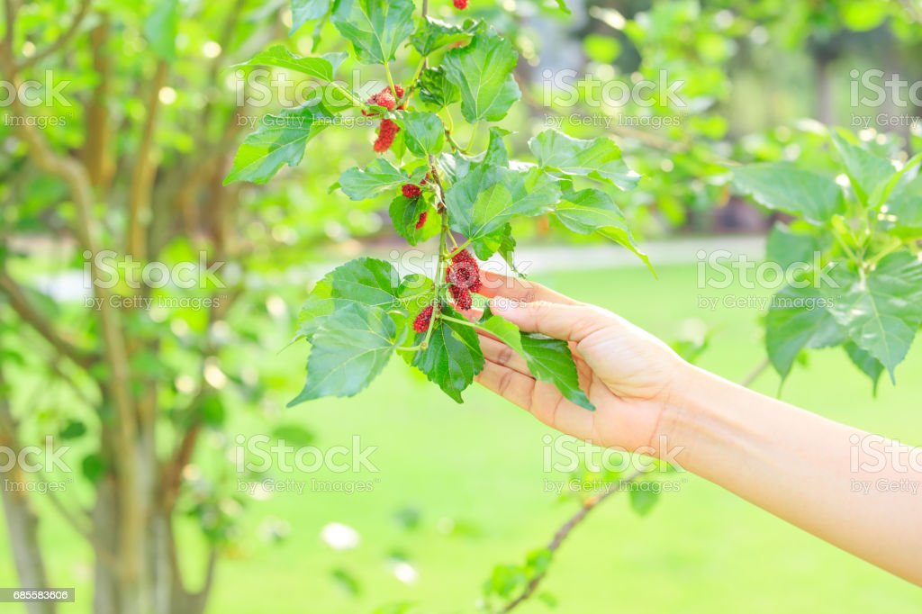 Mulberry fresh on tree. royalty-free 스톡 사진