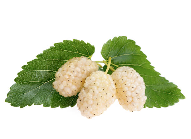 Mulberry fruit with leaves, isolated on white background, White mulberry stock photo