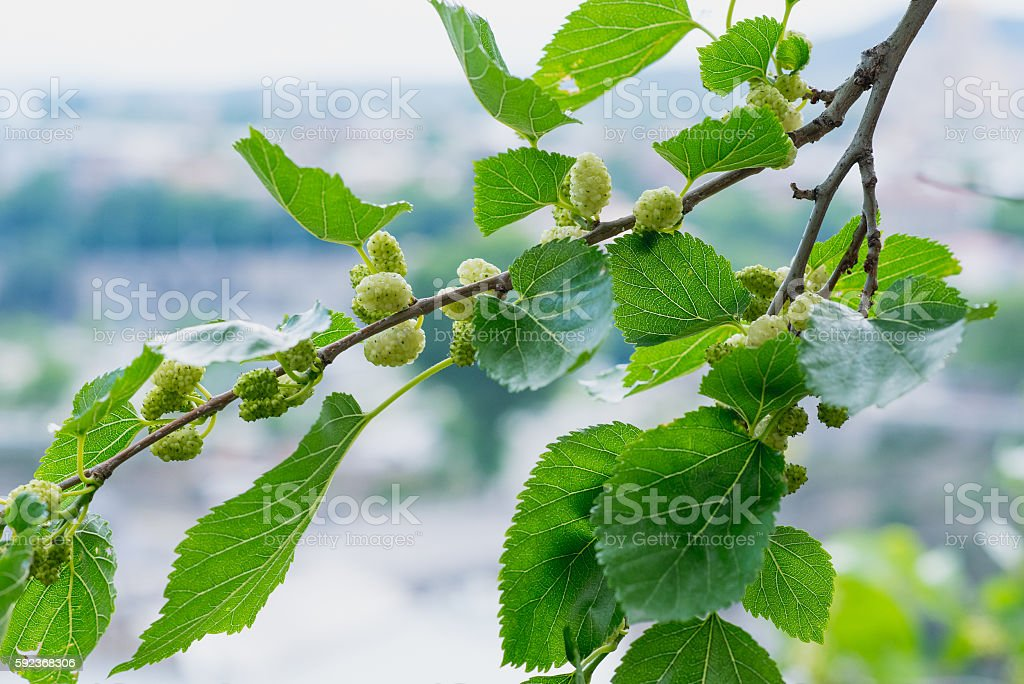 Mulberry in Tbilisi - fotografia de stock