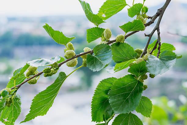 mulberry in tbilisi - amoreiras imagens e fotografias de stock