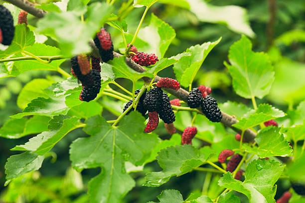 mulberry na natureza - amoreiras imagens e fotografias de stock