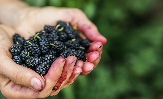 Mulberry in woman hands