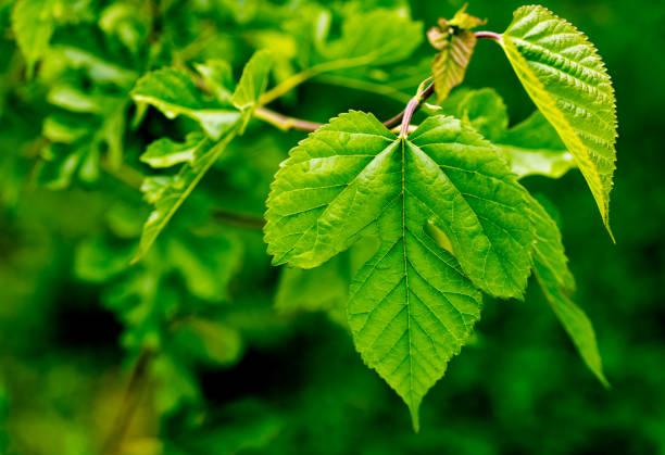 mulberry leaves - amoreiras imagens e fotografias de stock
