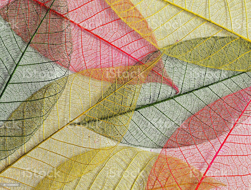 Mulberry leaves skeletons in autumn colors stock photo