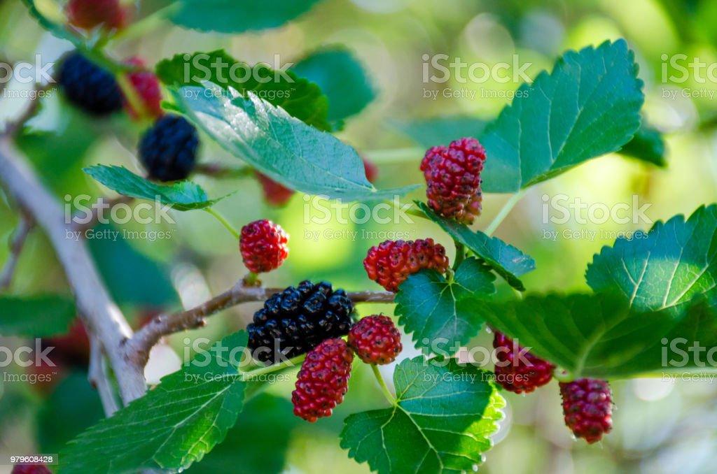 Mulberry on a tree - fotografia de stock