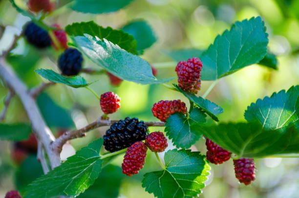 mulberry on a tree - amoreiras imagens e fotografias de stock