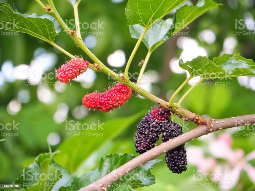 Mulberry on tree royalty-free 스톡 사진