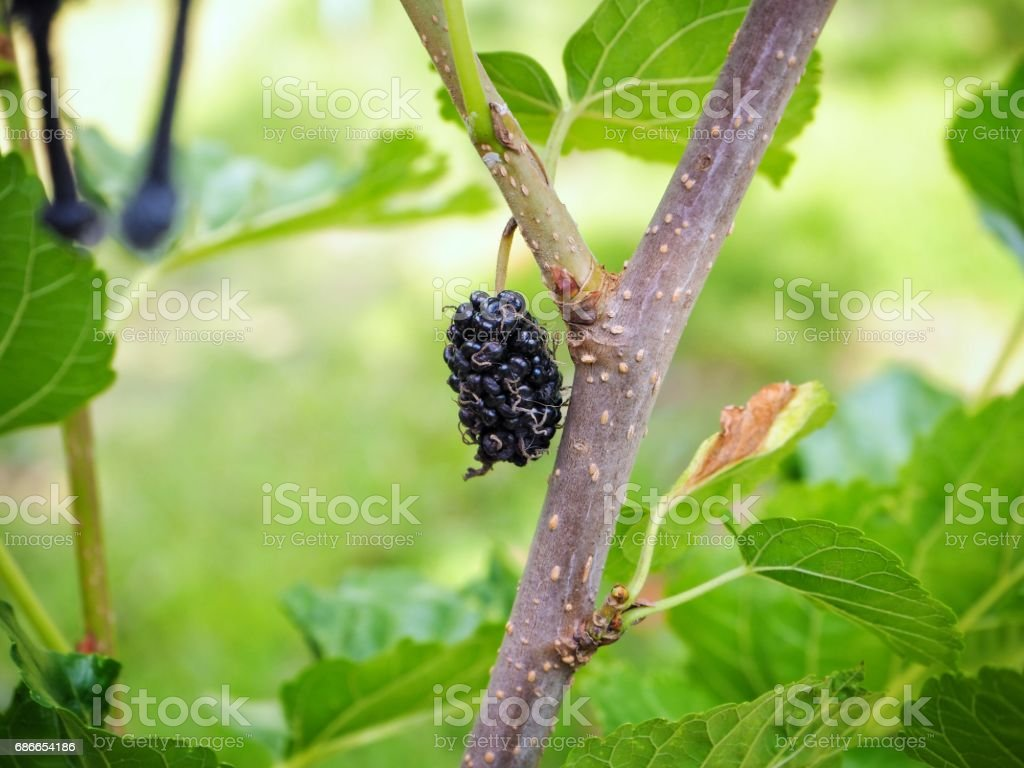 Mulberry on tree royalty-free stock photo