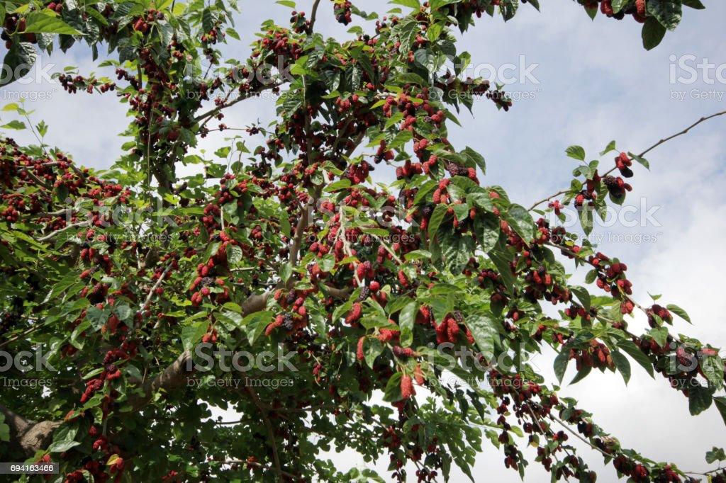 Mulberry - fotografia de stock