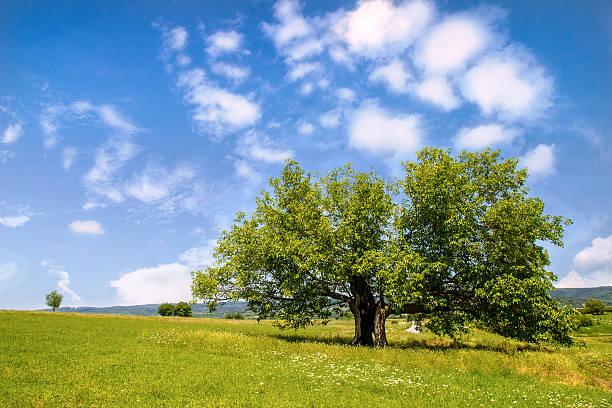 mulberry árvore em campo verde - amoreiras imagens e fotografias de stock