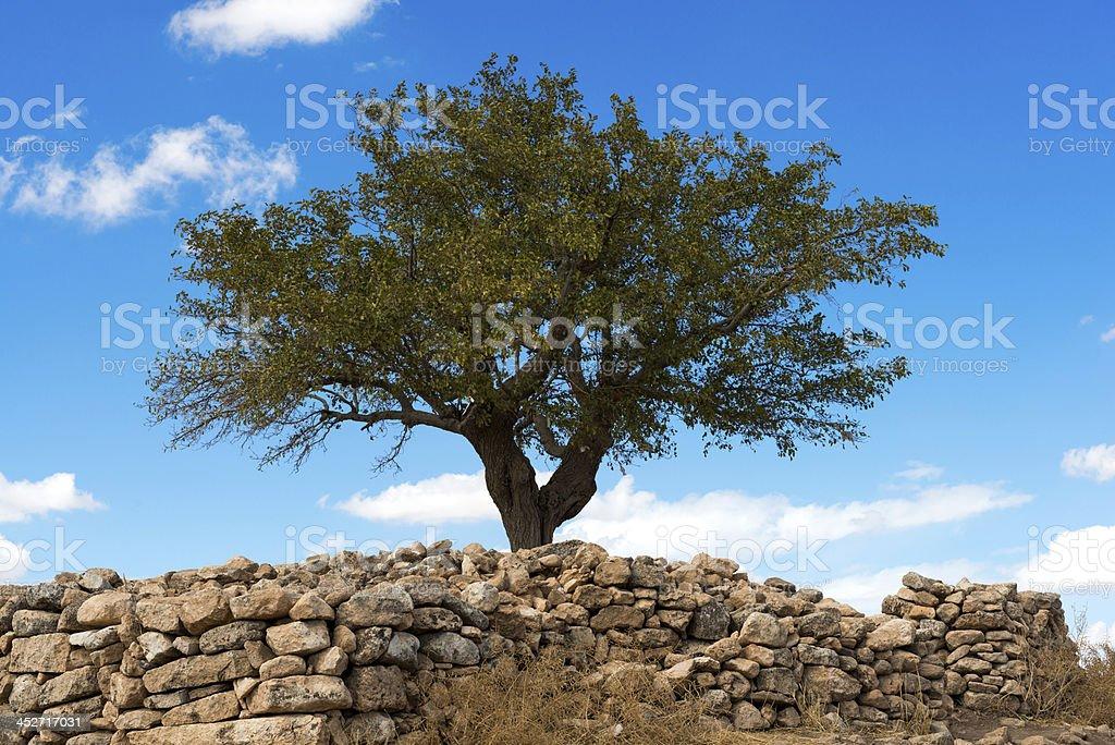 Mulberry Árvore - fotografia de stock