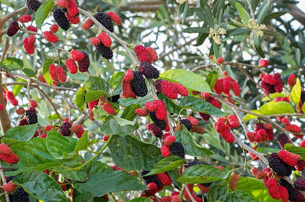 mulberry árvore - amoreiras imagens e fotografias de stock