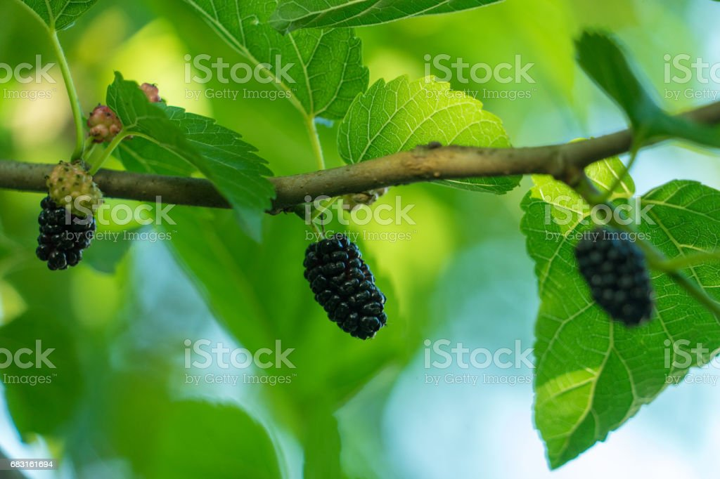 Mulberry Tree - fotografia de stock
