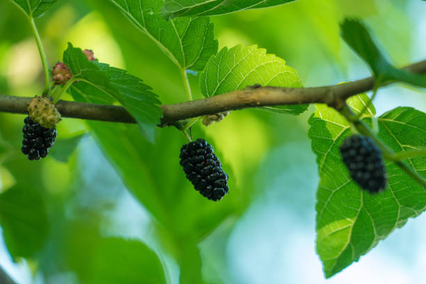 mulberry tree - amoreiras imagens e fotografias de stock