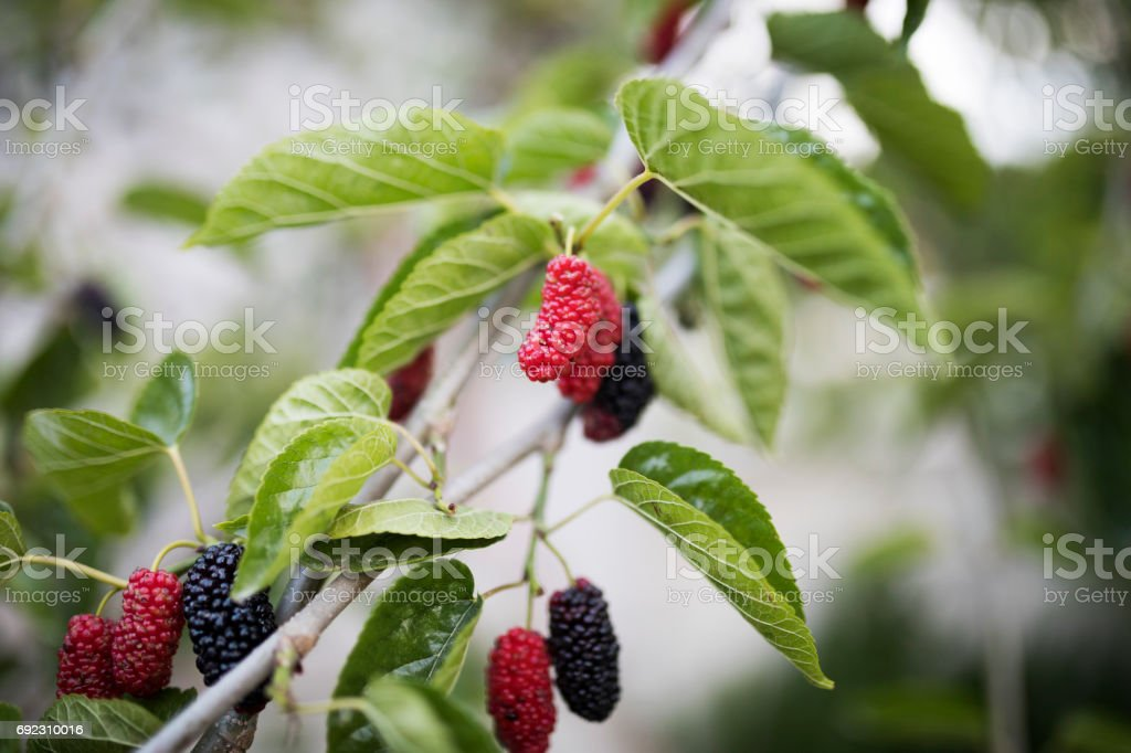 Mulberry Tree - fotografia de stock