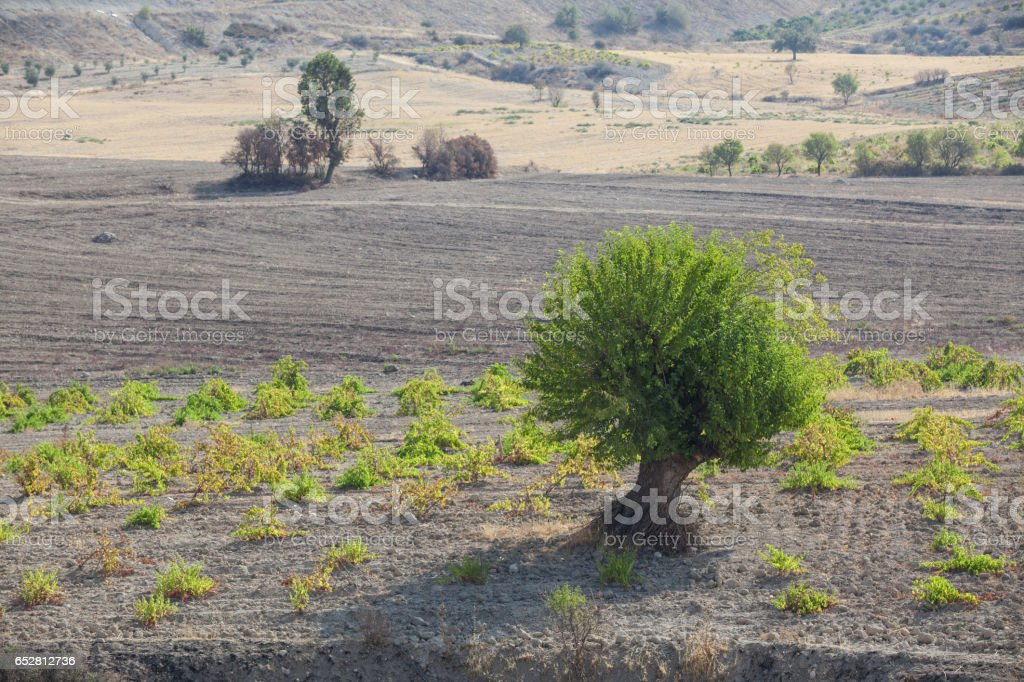 Mulberry Tree With Green Leaves In Vineyard - fotografia de stock