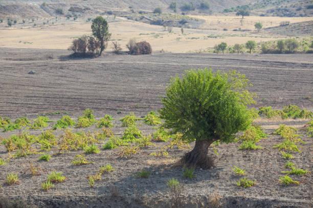 mulberry tree with green leaves in vineyard - amoreiras imagens e fotografias de stock