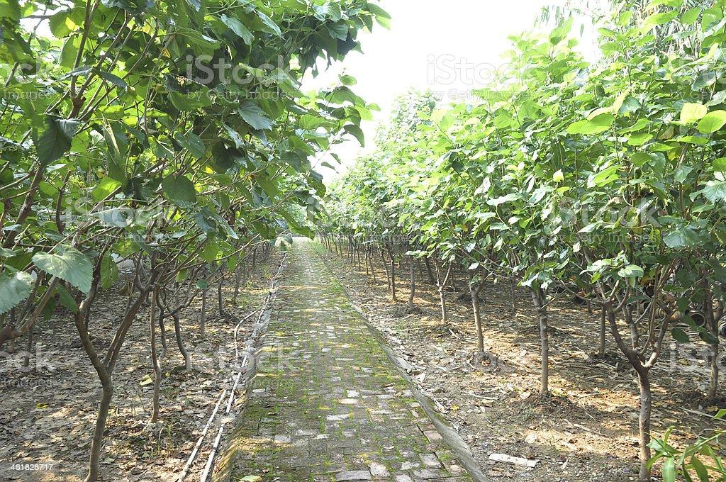 Mulberry árvores - fotografia de stock