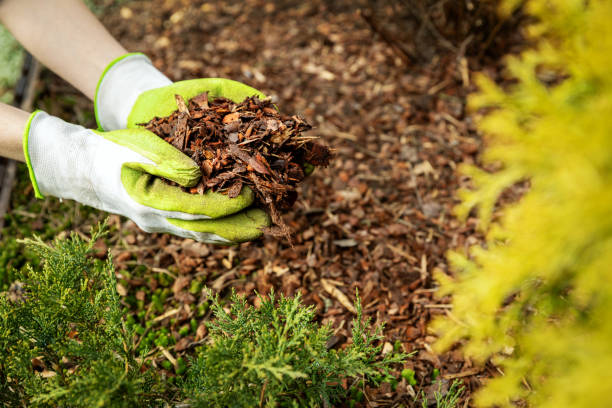 mulching garden conifer bed with pine tree bark mulch stock photo
