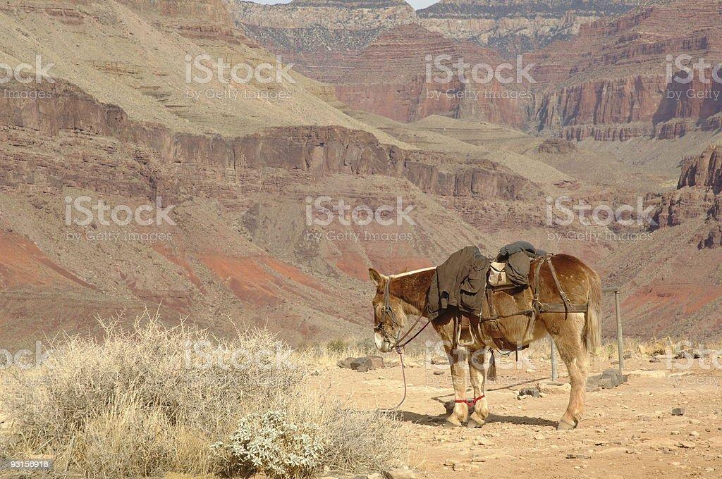 Mule at Grand Canyon royalty-free stock photo
