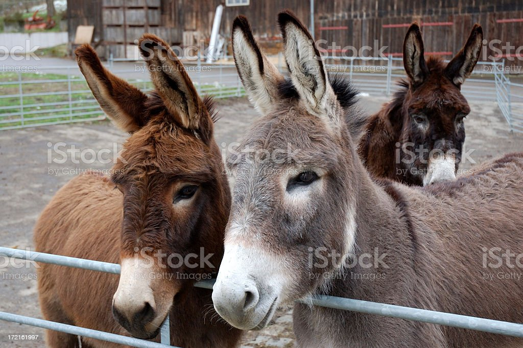 Mule Convention stock photo