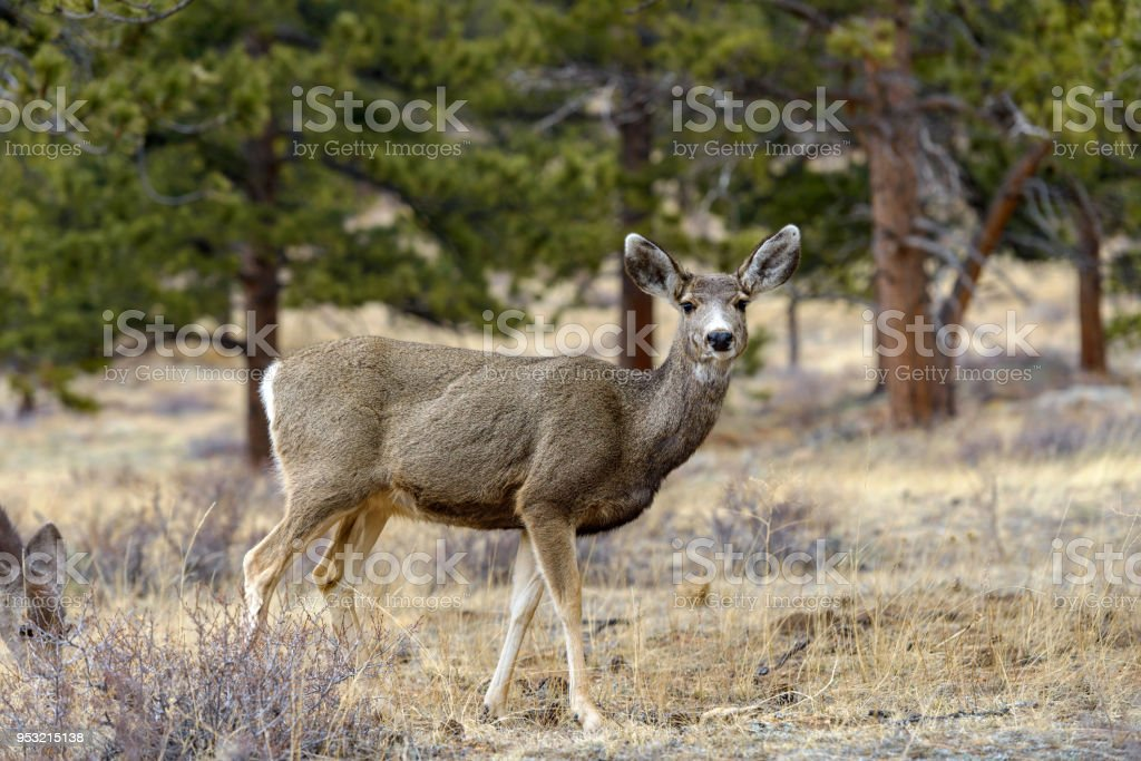 Mule Deer - A mule deer standing alerted in a pine forest. Early Spring in Rocky Mountain National Park, Colorado, USA. stock photo