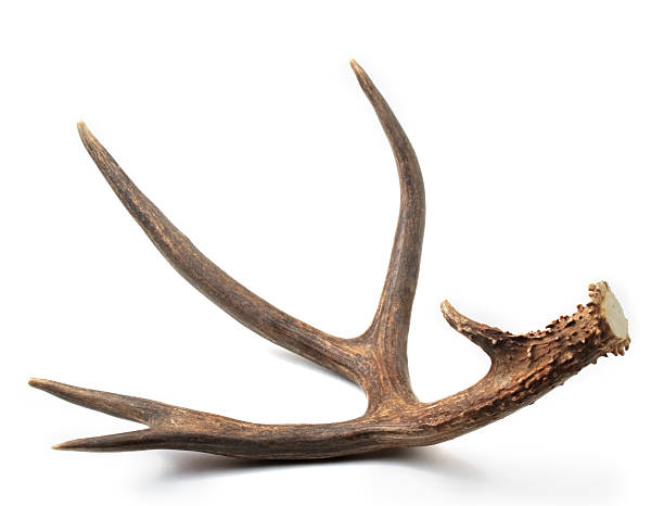 Mule deer antler stock photo