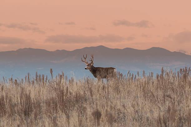 Mule deer buck at Sunrise a mule deer buck on a ridge at sunrise mule stock pictures, royalty-free photos & images