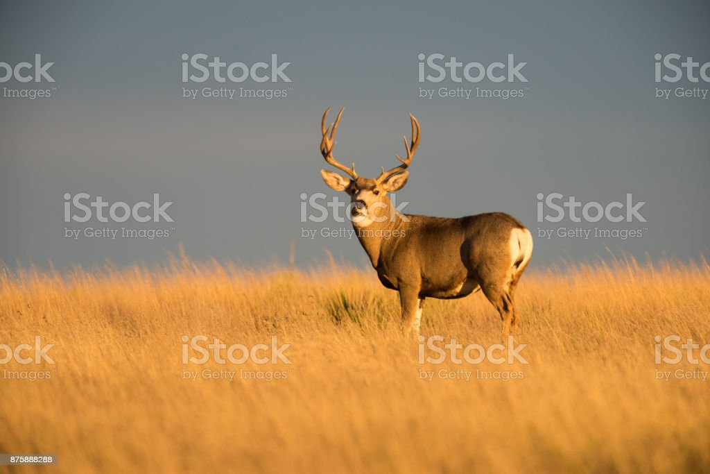 Mule Deer Buck at Sunset, Black Mesa Area, OK stock photo