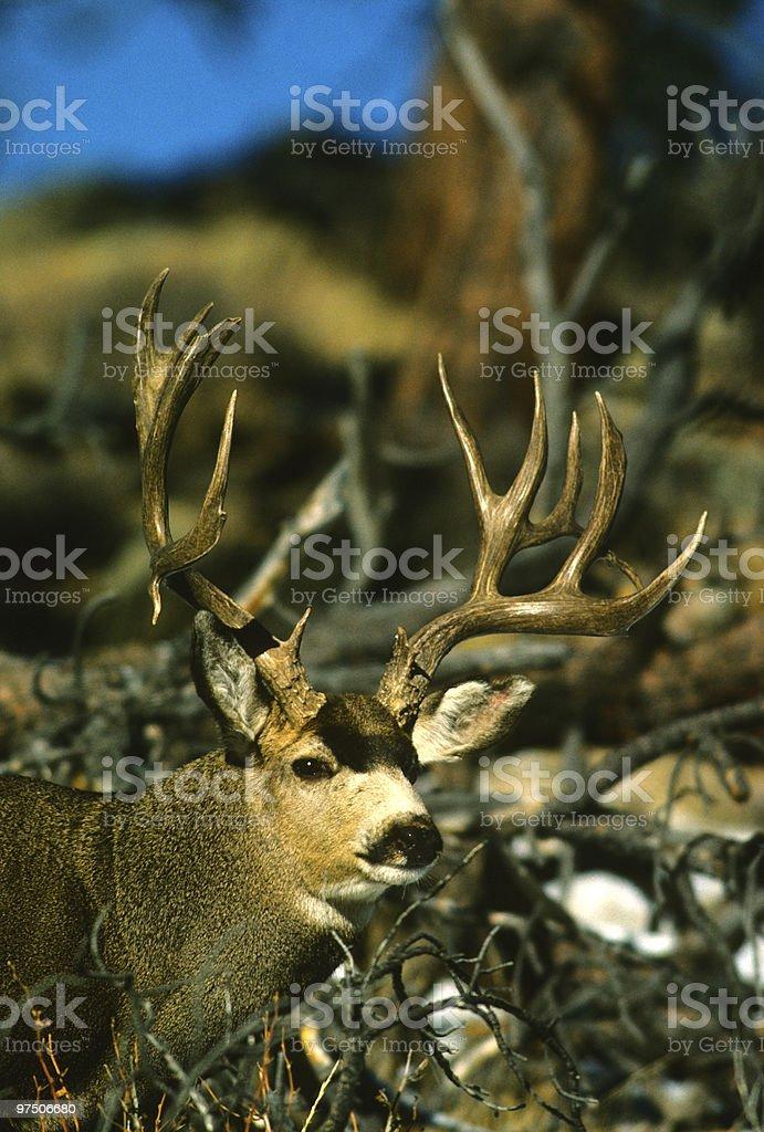 Mule Deer buck in Brush royalty-free stock photo