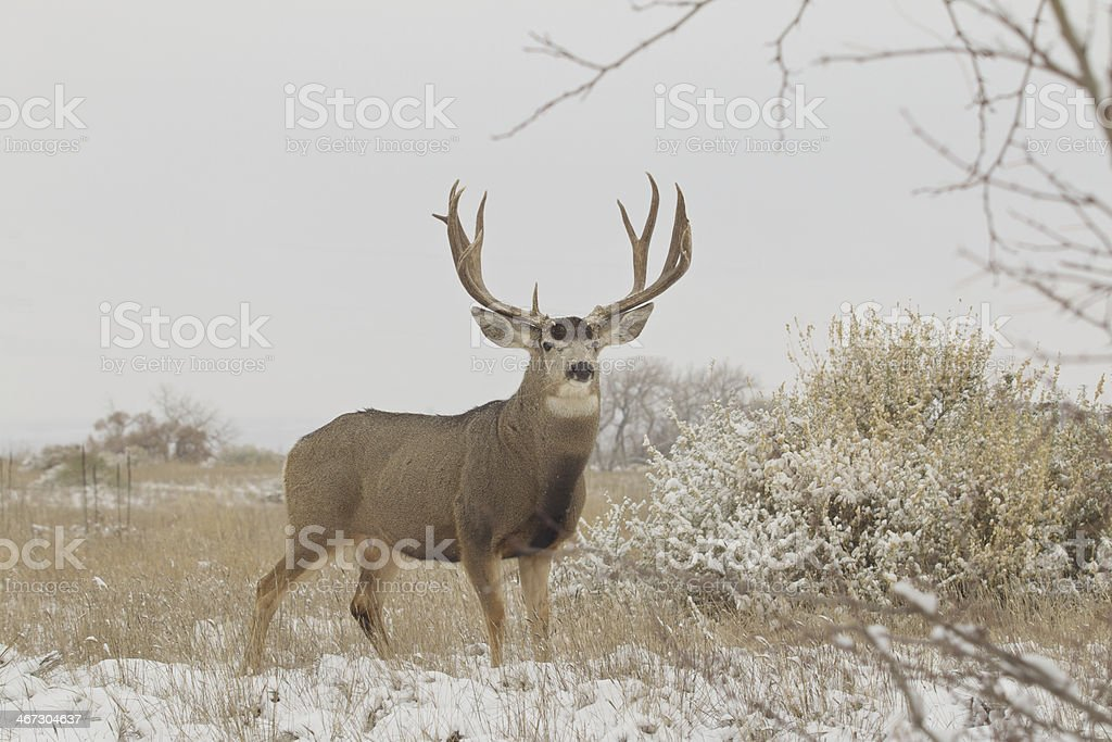Mule Deer Buck in Field stock photo