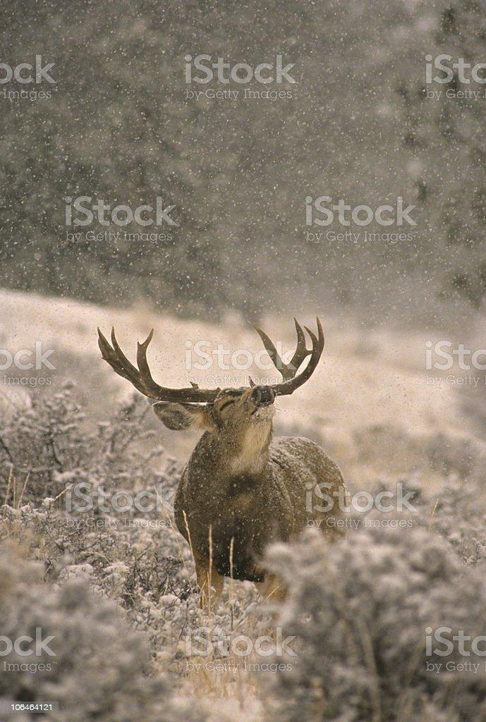 Mule Deer Buck in Rut stock photo