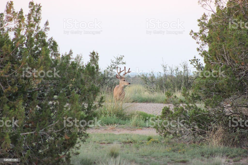 Mule Deer Buck in Velvet royalty-free stock photo
