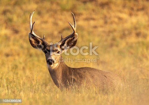 Mule deer buck resting in the sun, laying in the grass. Odocoileus hemionus
