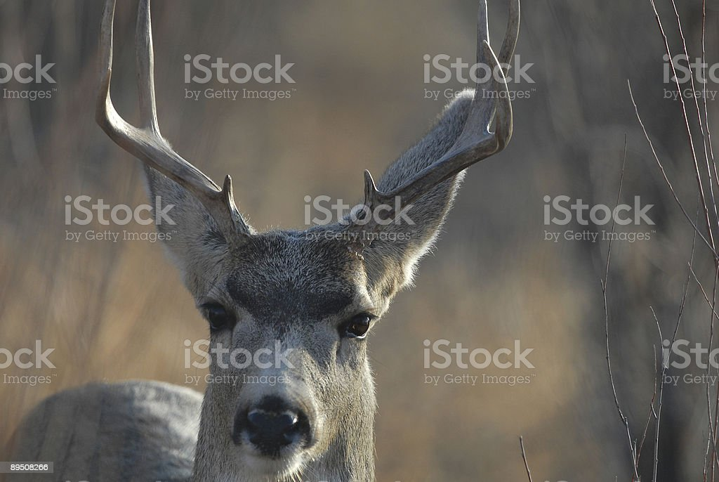 Mule Deer Buck royalty-free stock photo