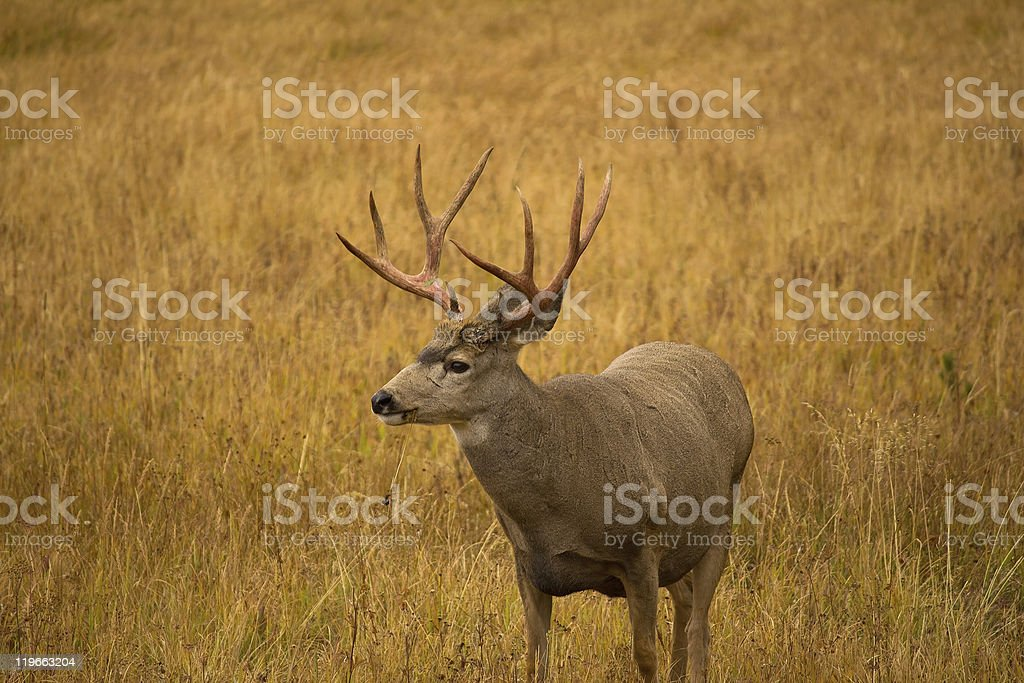 Mule Deer Buck with Red Antlers royalty-free stock photo