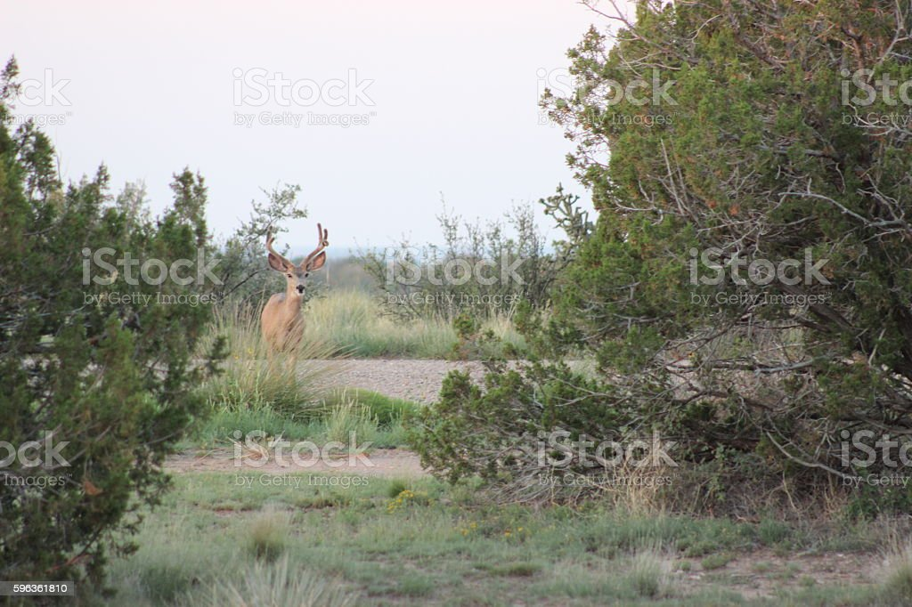 Mule Deer Buck with Velvet Antlers royalty-free stock photo