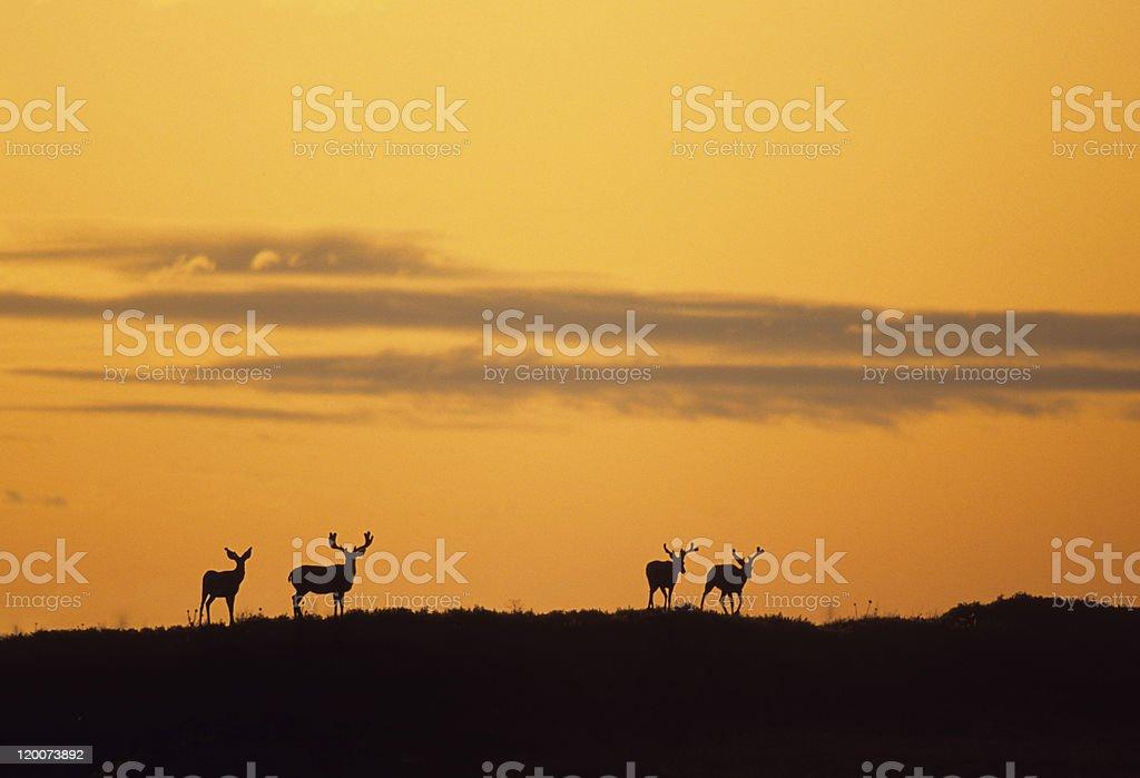 Mule Deer Bucks in Sunset stock photo