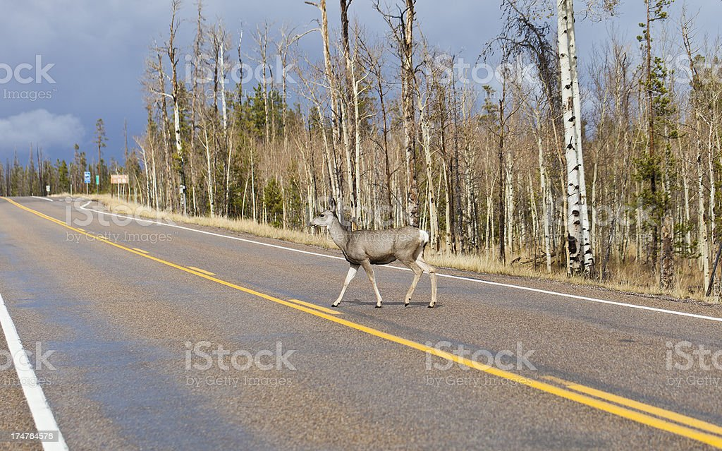 Mule Deer Crossing The Road royalty-free stock photo