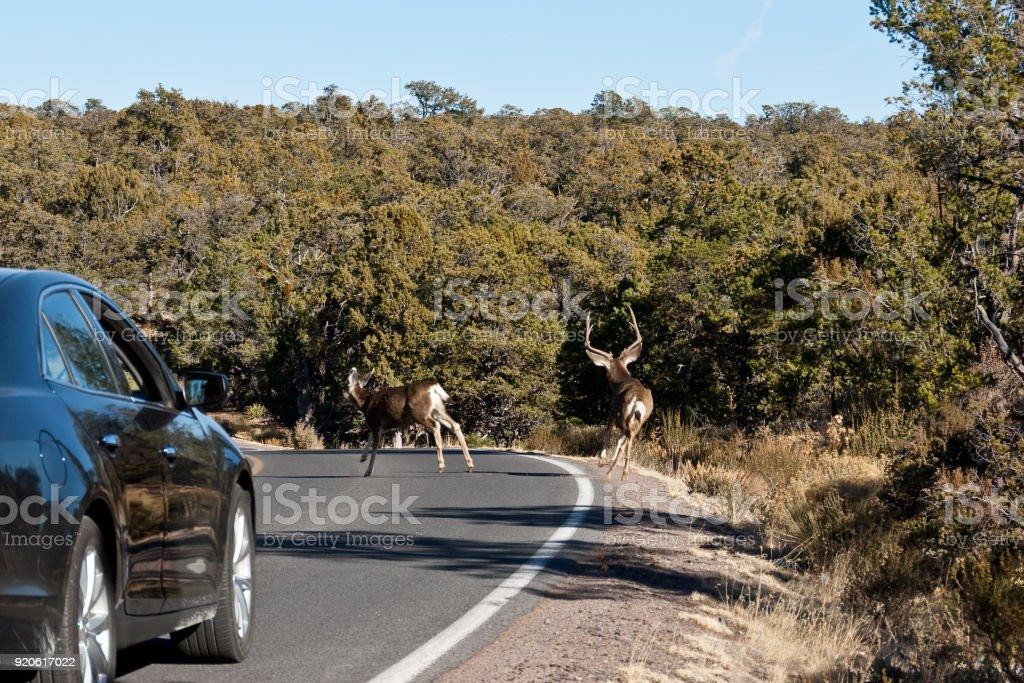 Mule Deer Crossing the Road stock photo