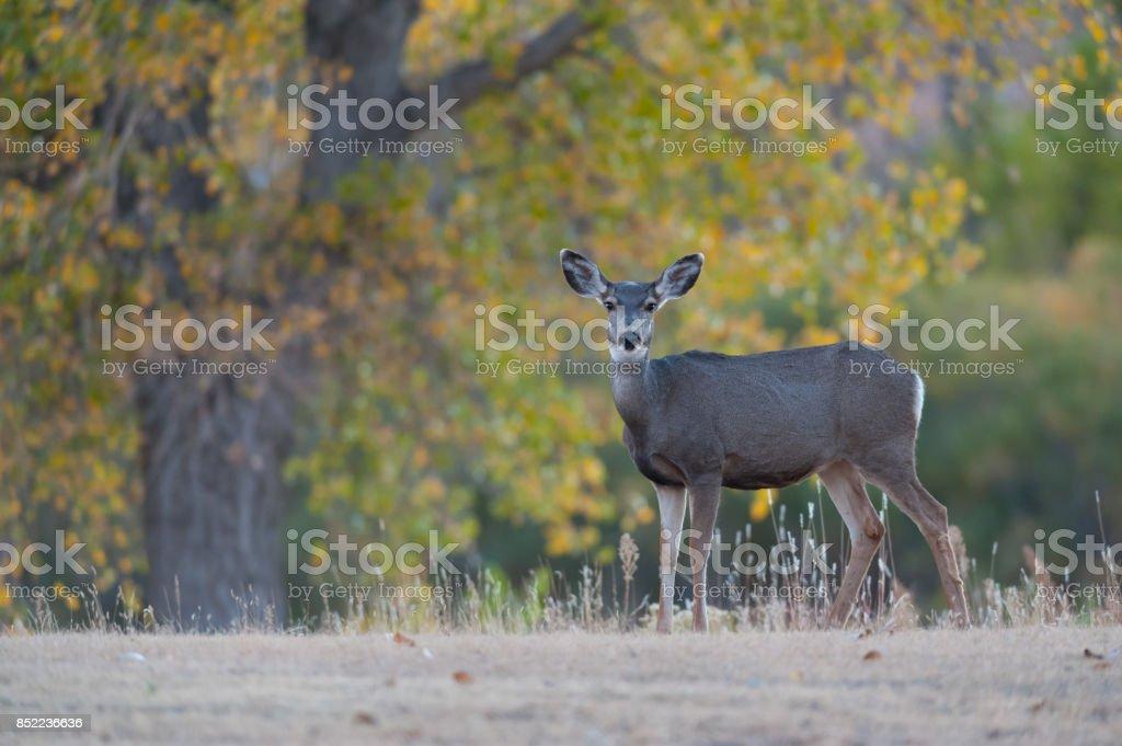 Mule Deer Doe, Fall, Black Mesa State Park, Oklahoma stock photo