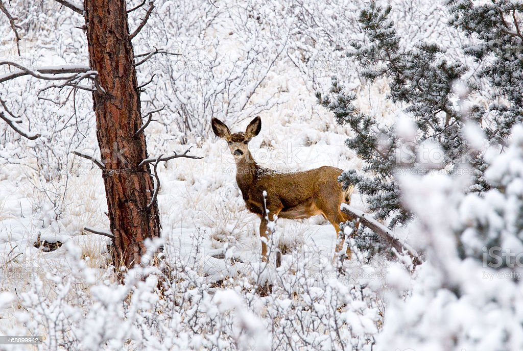 Mule Deer Doe in Snow in Pike National Forest stock photo