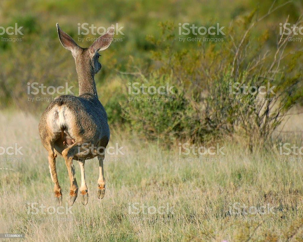 Mule Deer Doe Jump & Run royalty-free stock photo